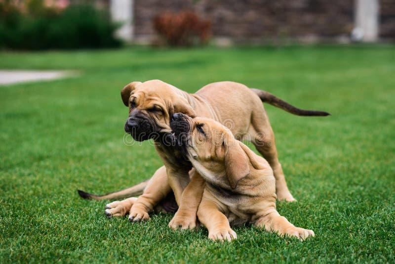 Two Fila Brasileiro Brazilian Mastiff puppies having fun stock photos