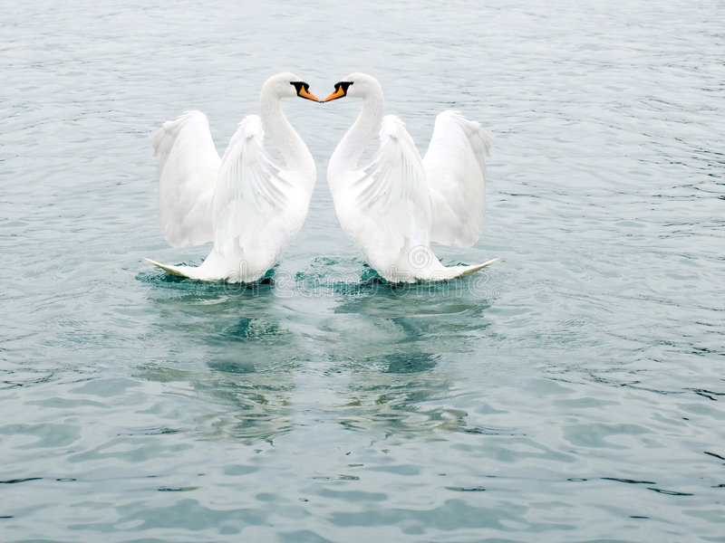 Two fine white swans stock photos