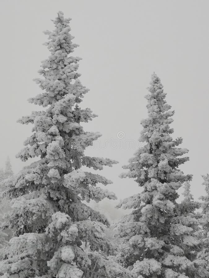 Two fir trees stuck with snow in the Ural mountains of the Chelyabinsk region royalty free stock photography