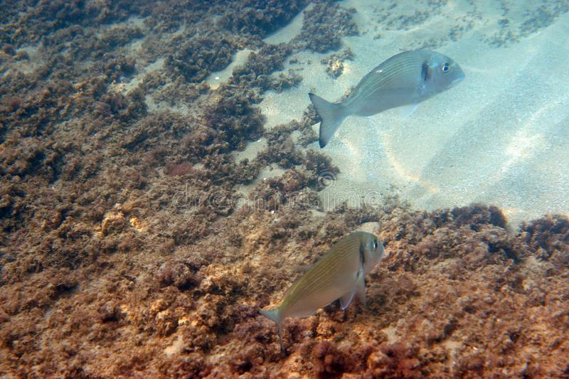 Two fish of a dorado float in the sea under water.  stock images