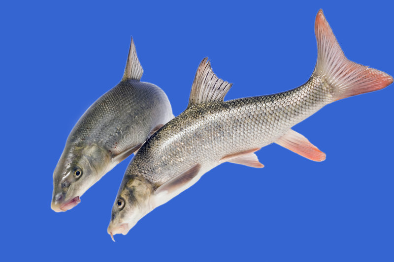 Two Fish Swimming Royalty Free Stock Photos