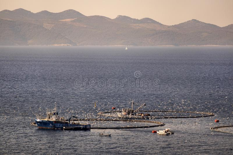 Seagulls flying over fish cages. Two fishing boats feeding tuna in cages in fish farm in front of island Brac in Croatia stock image