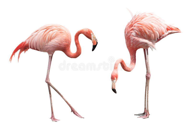 Two flamingo. Isolated on white background
