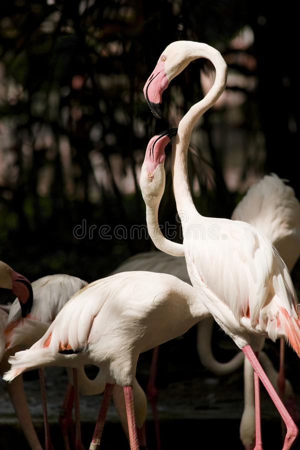 Download Two Flamingoes Communicating Stock Image - Image: 9990841