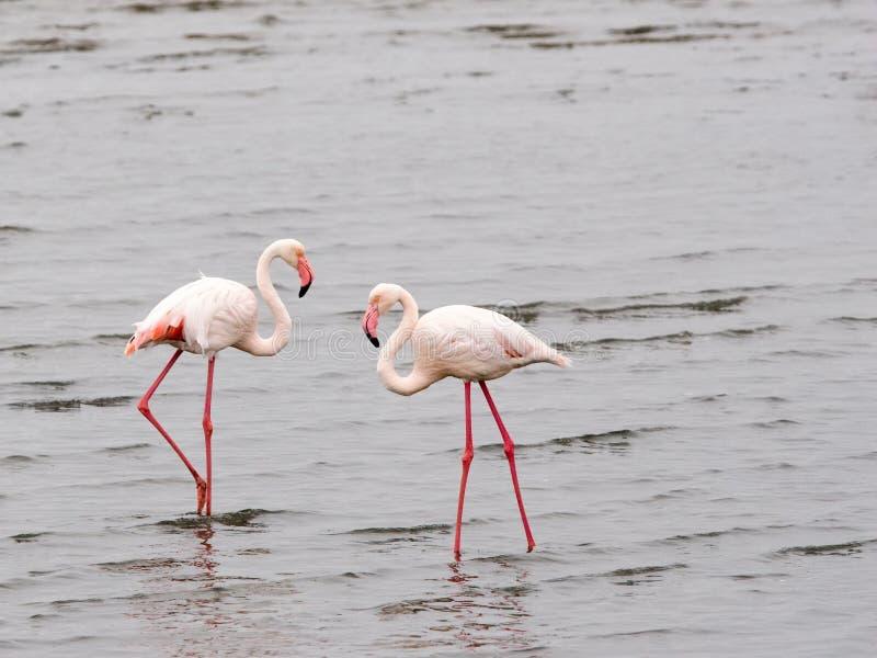 Two flamingos stock photography