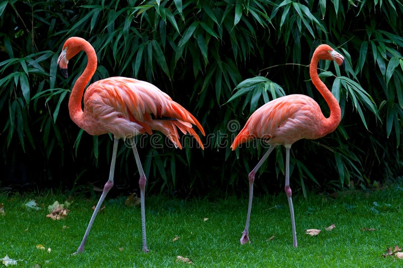 Download Two flamingos stock image. Image of together, flamingo - 23923509