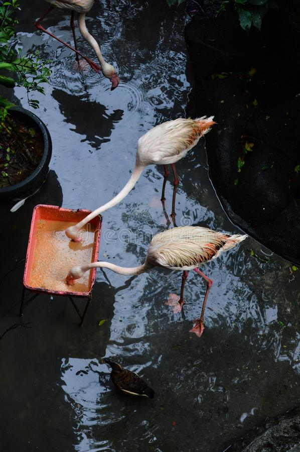 Two Flamingos eating from same tray together royalty free stock photos