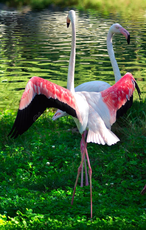 Download Two flamingos on the grass stock photo. Image of couplereflected - 26611030