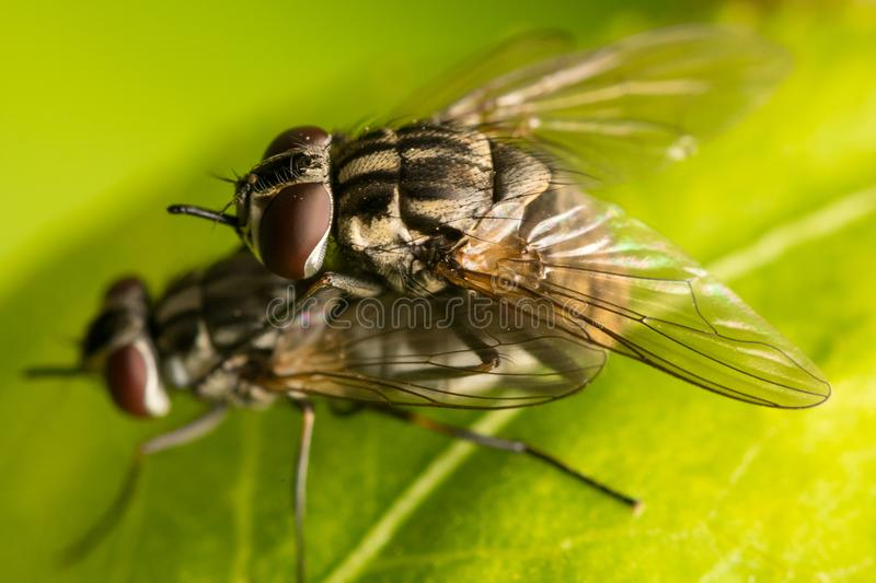 Two Mating Flies - Diptera. Two flies diptera mating. Diptera is one of the major insect orders and of considerable ecological and human importance. Flies are stock photography