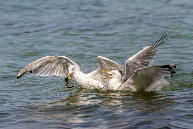 Two floating herring gulls argue about a crab. Two floating white herring gulls argue about a crab stock images