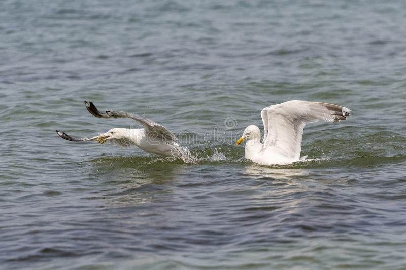 Two floating herring gulls argue about a crab. Two floating white herring gulls argue about a crab royalty free stock photo