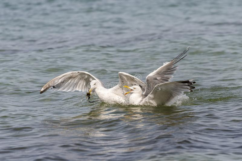 Two floating herring gulls argue about a crab. Two floating white herring gulls argue about a crab stock photography
