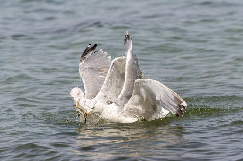 Two floating herring gulls argue about a crab. Two floating white herring gulls argue about a crab royalty free stock image