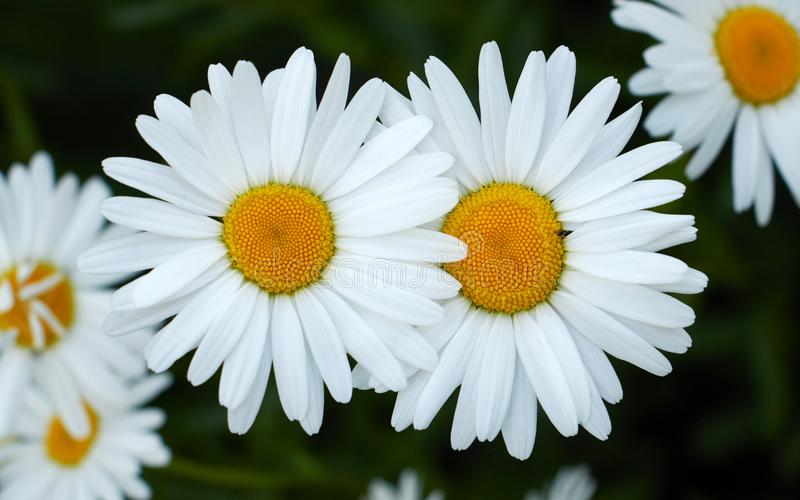 Two flowering daisies. White flowers stock images
