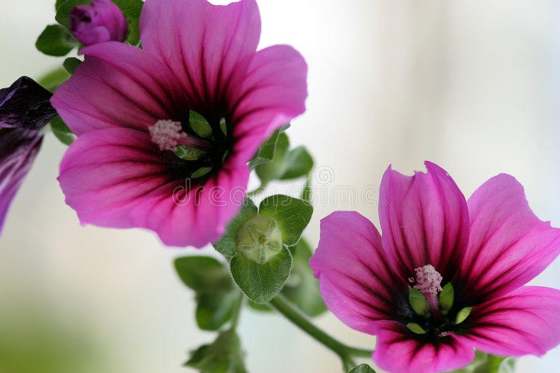 Two flowers royalty free stock photo