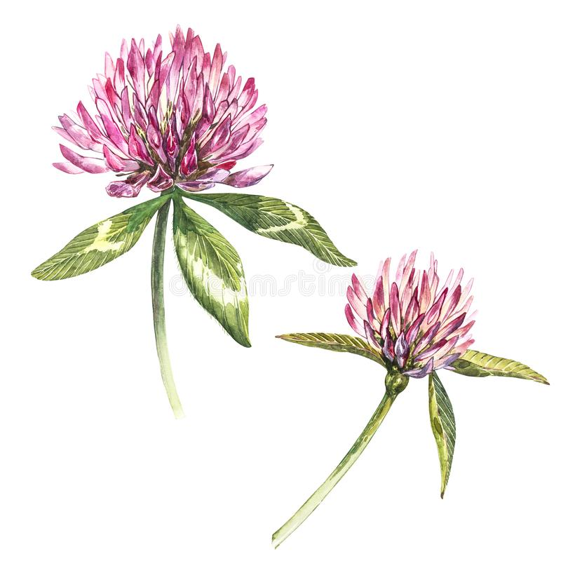 Two flowers of red clover with leaves. Watercolor botanical illustration isolated on white background. Happy Saint stock photos