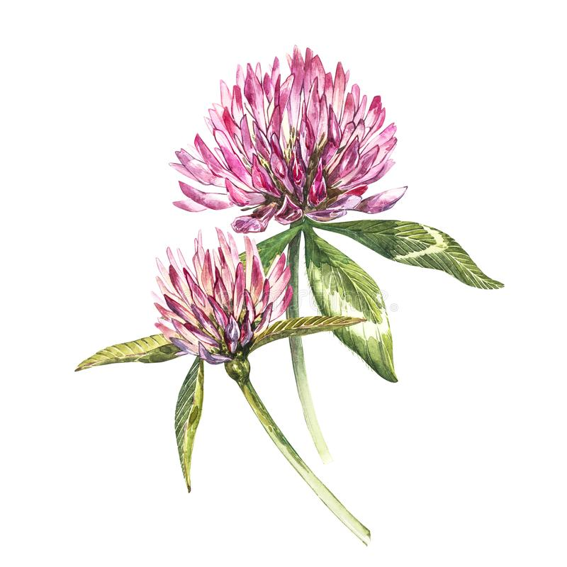 Two flowers of red clover with leaves. Watercolor botanical illustration isolated on white background. Happy Saint. Patricks Day vector illustration