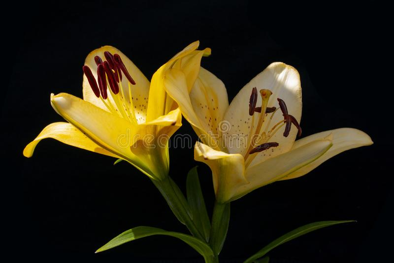 Two flowers of yellow lily on black. Wallpaper background stock images