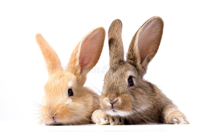 Two fluffy bunnies look at the signboard. Isolated on white background Easter Bunny. Red and gray rabbit peeking. royalty free stock photo