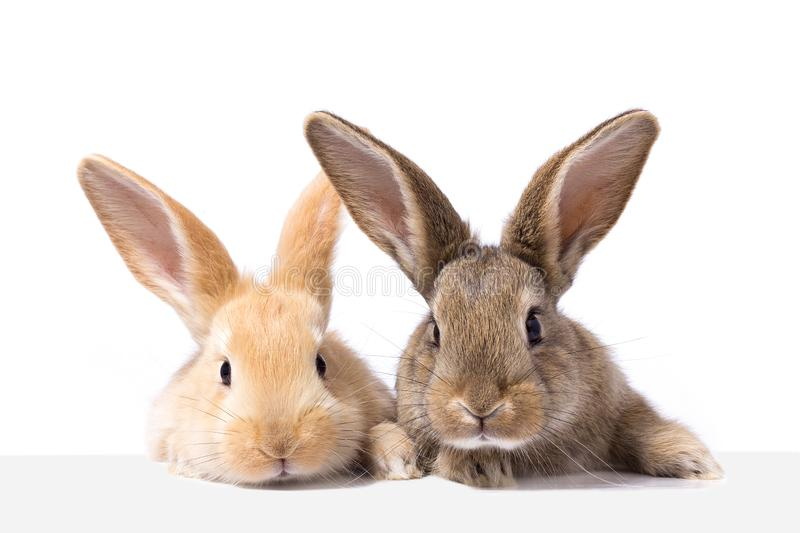 Two fluffy bunnies look at the signboard. Isolated on white background Easter Bunny. Red and gray rabbit peeking. royalty free stock photography