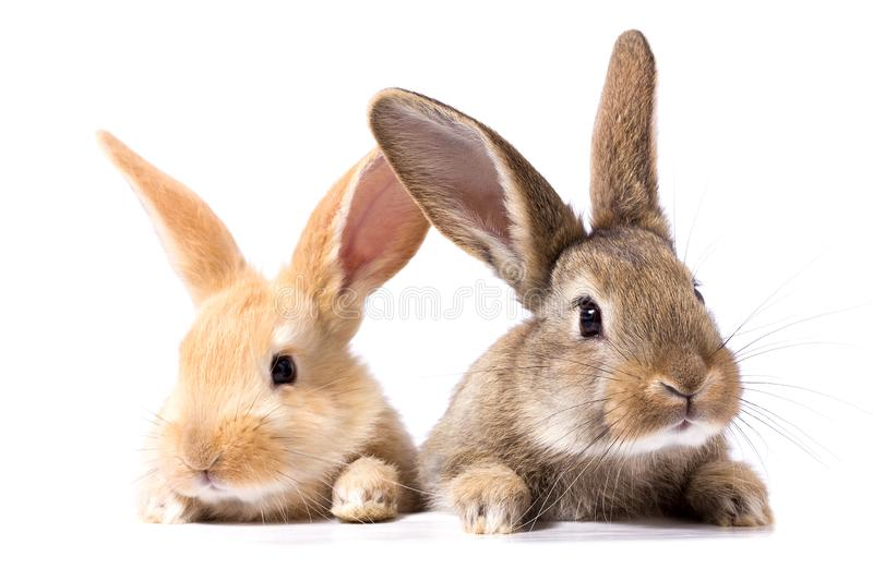 Two fluffy bunnies look at the signboard. Isolated on white background Easter Bunny. Red and gray rabbit peeking. royalty free stock images