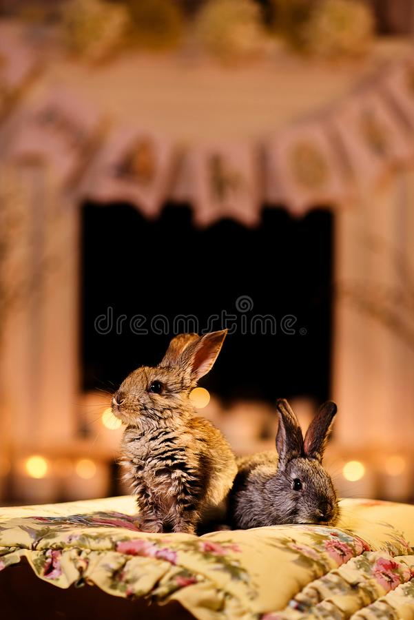 Two fluffy bunnies in a room with an evening warm ligh royalty free stock image