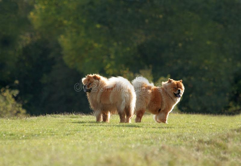 Two Fluffy Dogs stock photography