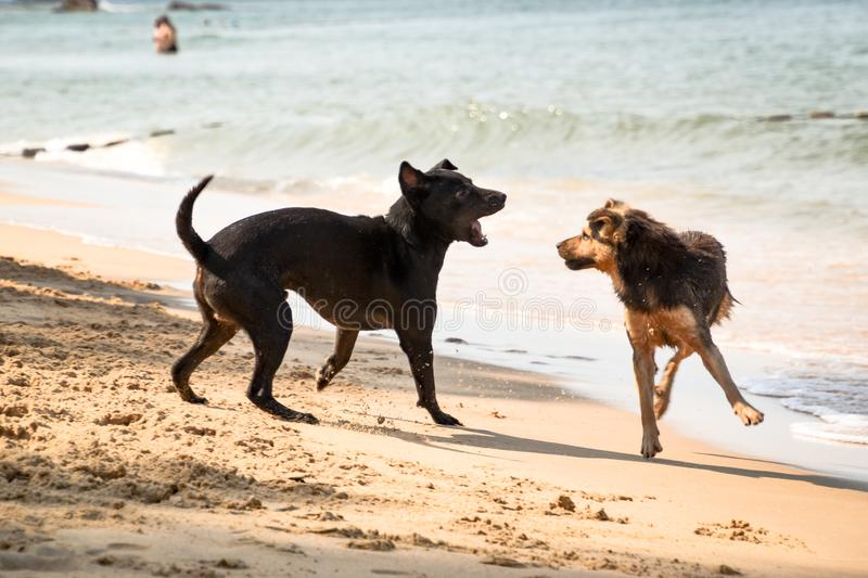 Two fluffy dogs fighting at the beach stock images