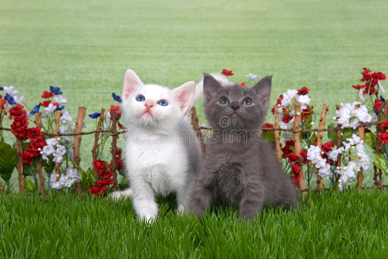 Two fluffy kittens in a flower garden. Two fluffy kittens, white and gray sitting in green grass back yard setting, stick fence with red, white, blue flowers royalty free stock photos