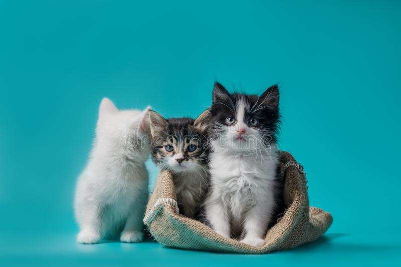 Two kittens in a sack and one next to the bag on a turquoise background stock photos