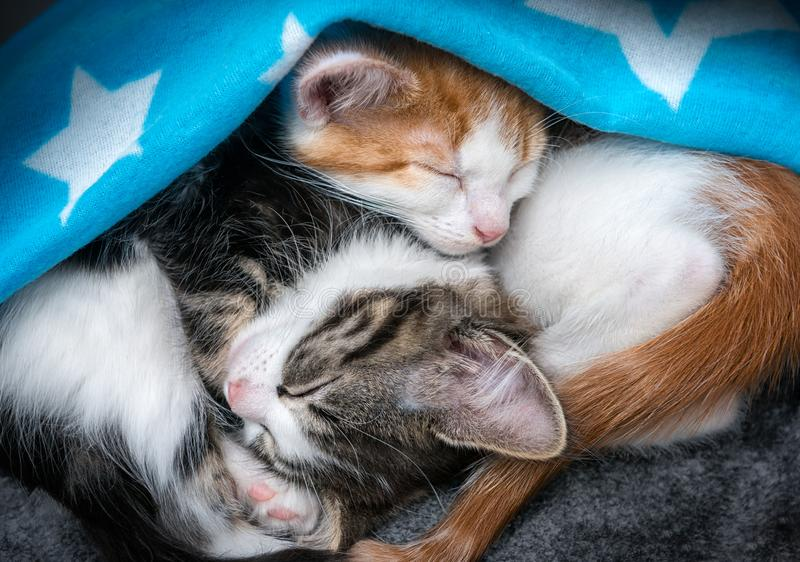 Two fluffy kittens sleeping under a blanket. Two cute fluffy kittens sleeping upside down under a blanket royalty free stock photos