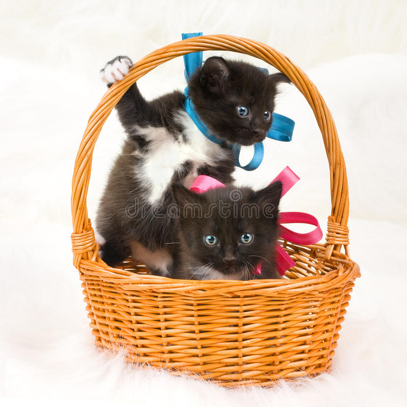 Two fluffy little kittens. Two black beautiful fluffy little kittens, in basket on white fur background royalty free stock photo