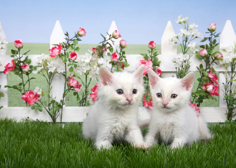 Two fluffy white kittens in a backyard flower garden. Two small fluffy white kittens standing in green grass, white picket fence with pink roses and white royalty free stock images