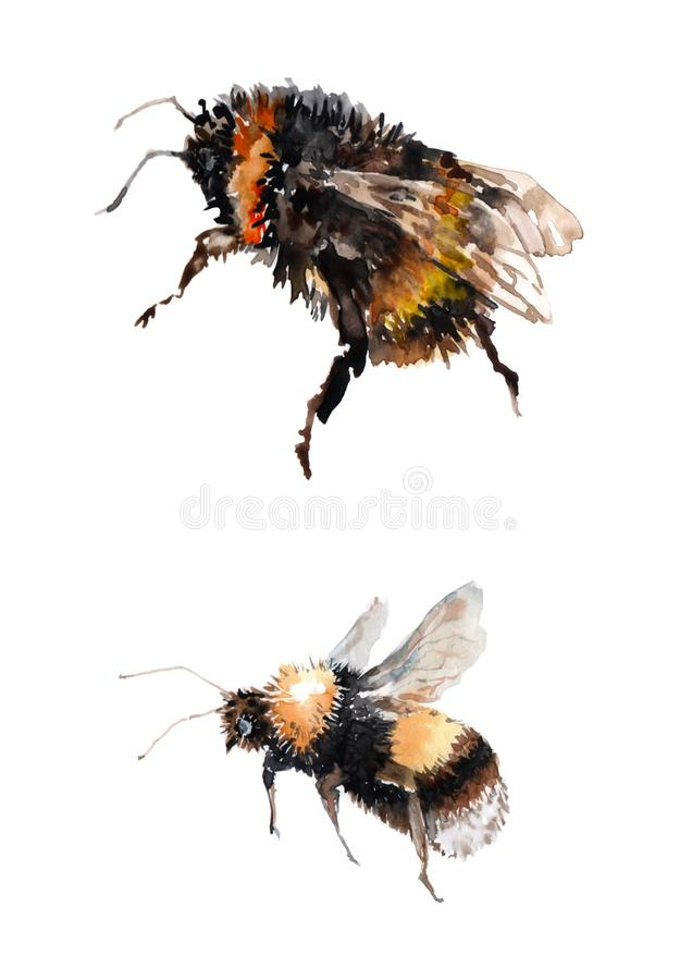 Two flying bumblebees. Watercolor on white background royalty free illustration