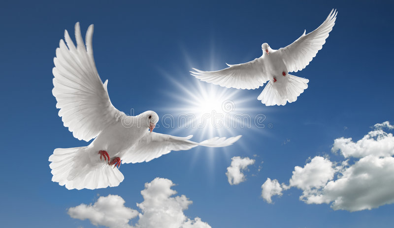 Two flying doves. Two doves flying with spread wings on sky