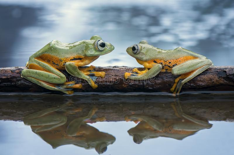 Two Flying Frog Wallace On The Tree. Pose and reflection stock photos