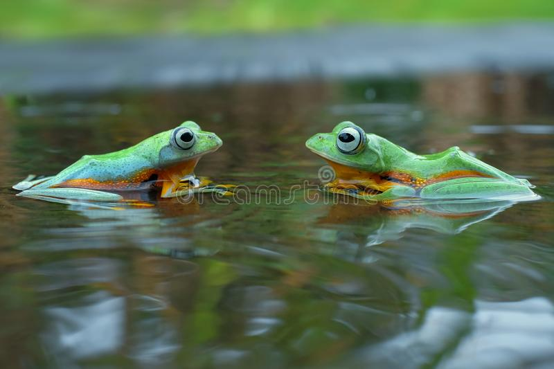 Flying Frog On The Water. Two Flying Frog On The Water and relax in tthe morning royalty free stock image