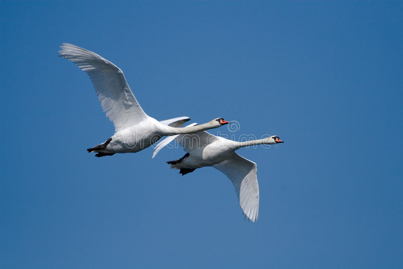 Two flying swans royalty free stock photos