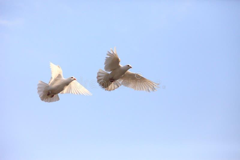 Two flying white doves stock image