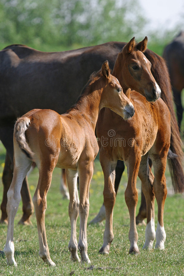 Free Two Foals Royalty Free Stock Images - 2750509