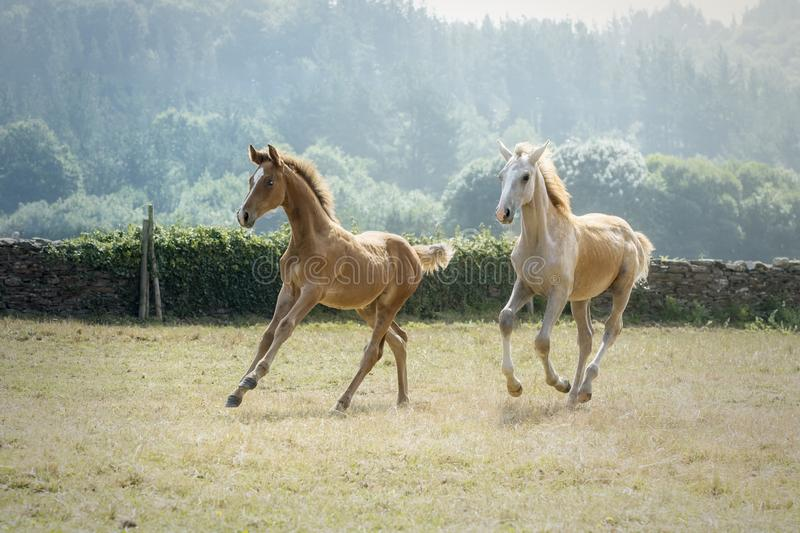 Two young foals running together in a sunny morning in a meadow stock photos