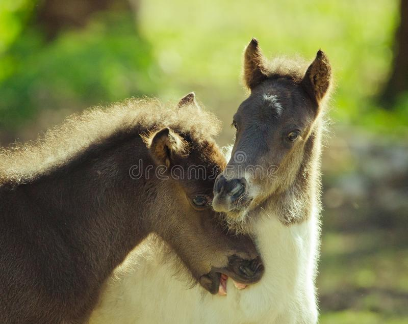 Two foals are playing and twinching royalty free stock images