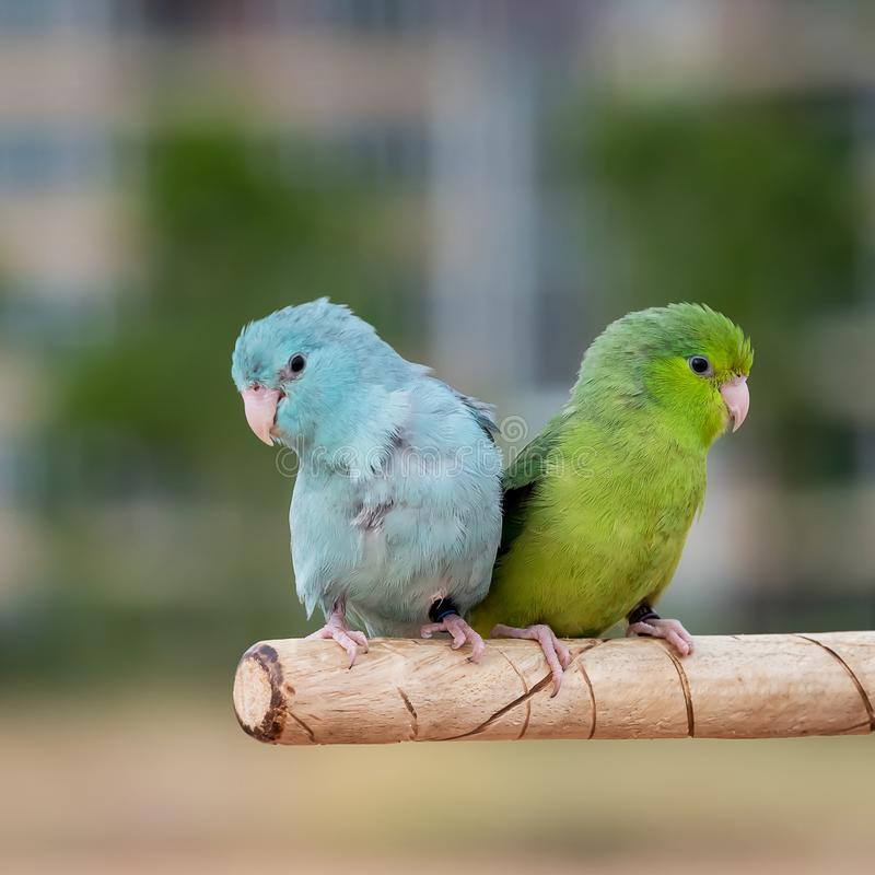 Close up forpus conspicillatus. Two forpus bird on a wooden bar stock image