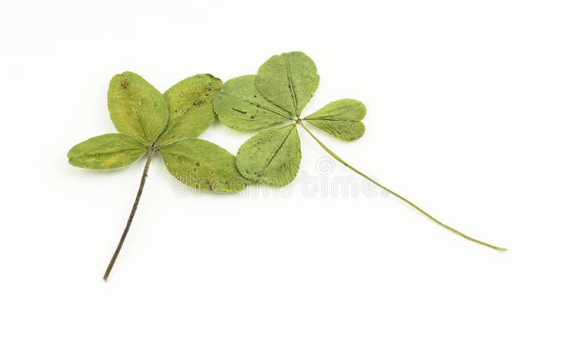 Two four-leaf clover royalty free stock photos