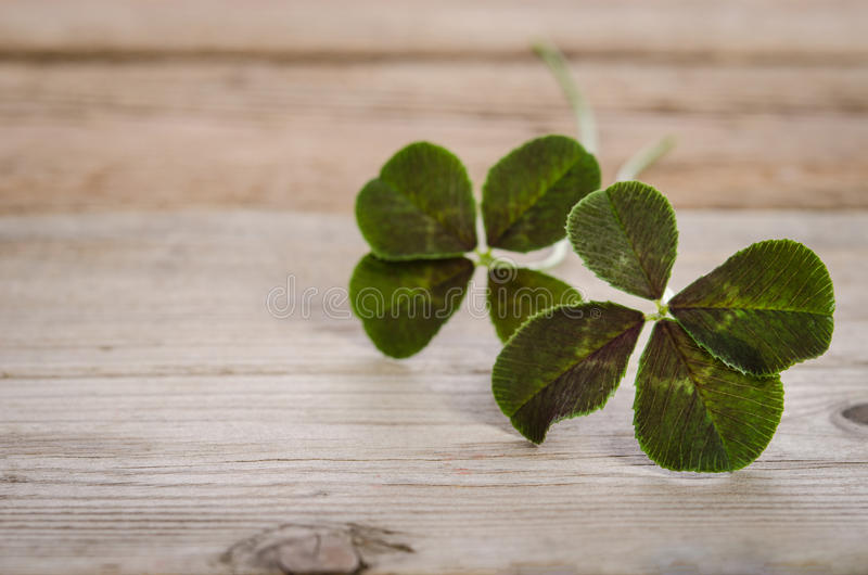 Two four-leaves clovers for good luck stock photography
