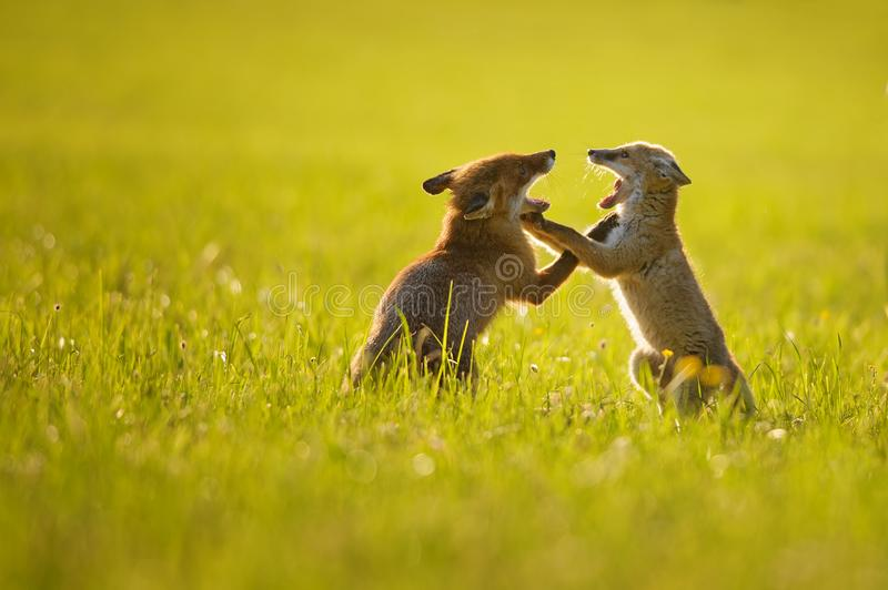 Two fox cubs playing in summer sunset. Two fox cubs playing in summer baclight sunset on the grass. Barking and fight between foxes royalty free stock photos