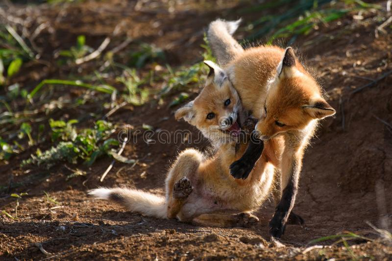 Two Fox playing with holes royalty free stock image