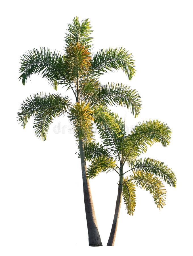 Two foxtail palm trees isolated on white royalty free stock image