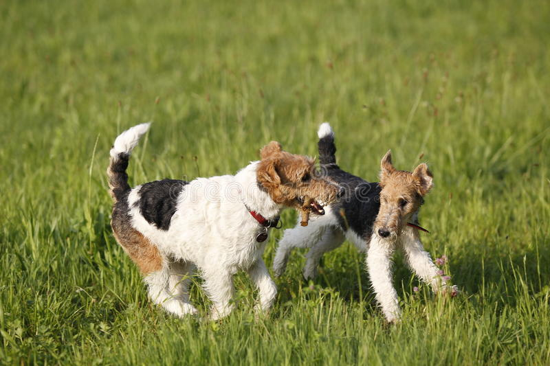 Two Foxterrier running in the meadow royalty free stock image