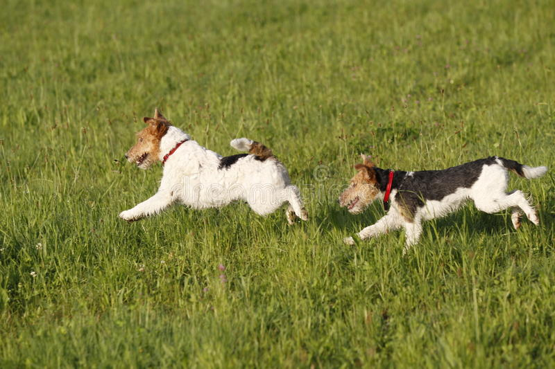 Two Foxterrier running in the meadow stock photo